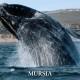 Balene Salvateci